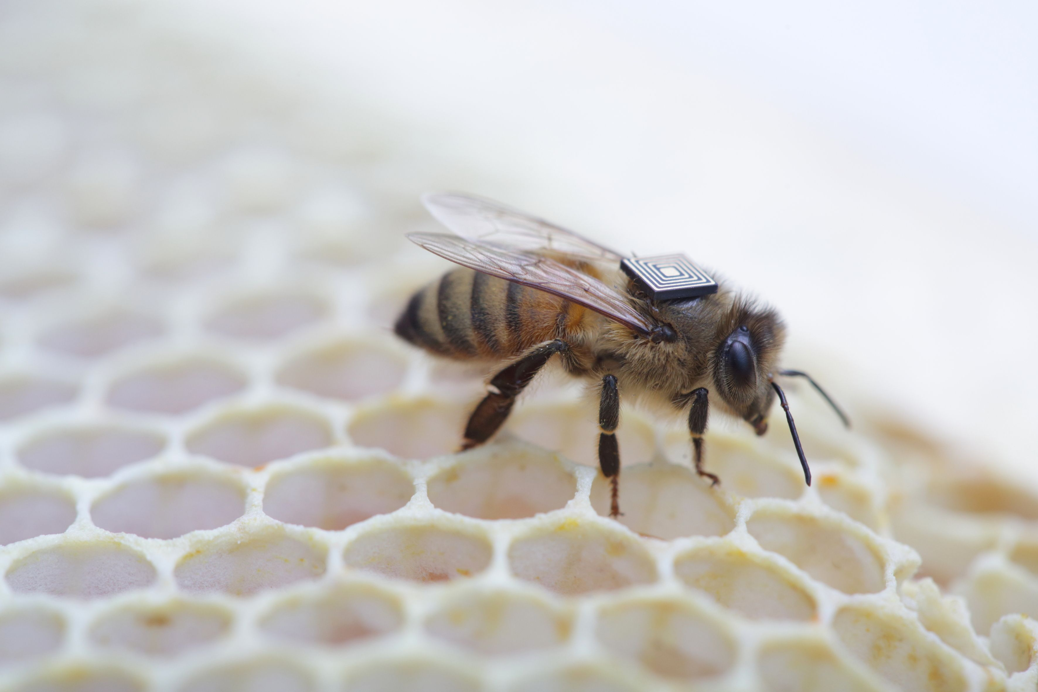 Intel rusza na ratunek pszczolom_1